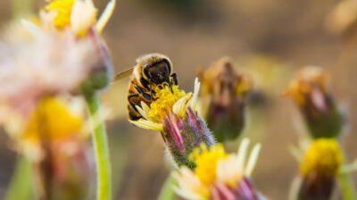 IVA do mel: Qual a taxa de IVA aplicável ao mel e ao pólen de abelha?